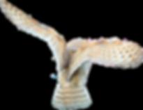 barn_owl_stock___no_bg_by_hyperactive_ac