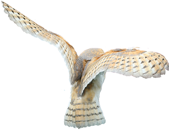 barn_owl_stock___no_bg_by_hyperactive_ac