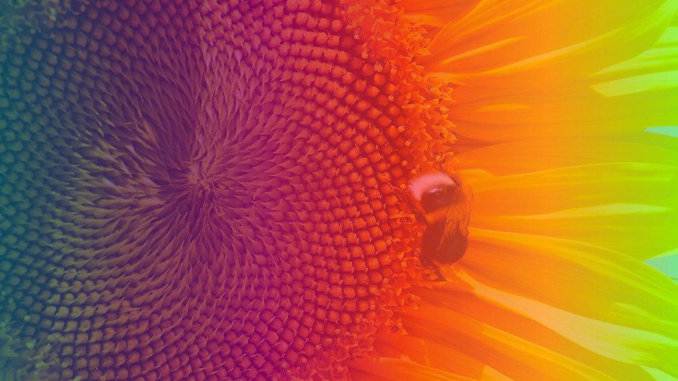 IAL_Sunflower.jpg