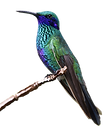 hummingbird-2499674_960_720 copy.png