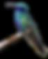 hummingbird-2499674_960_720 copy.png