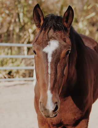 Eli part of the oequine assisted emdr herd