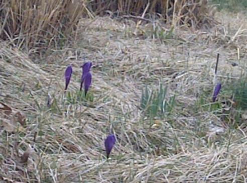 crocuses - purple