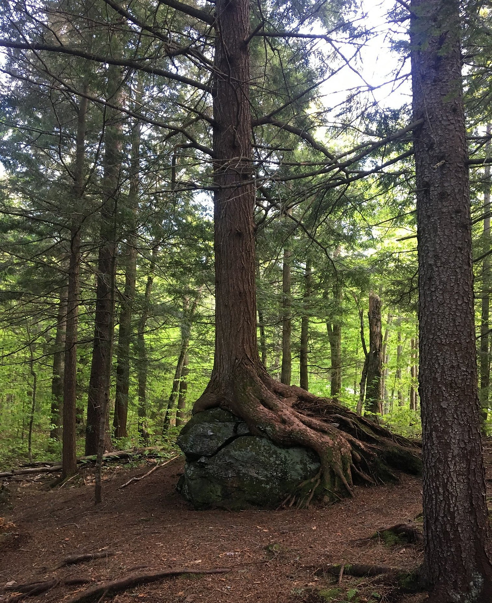 photo of large evergreen with it's roots wrapping around a large boulder.