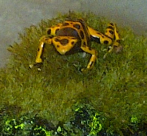 ~ Poison Frogs