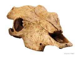 2857 Buffalo Skull 23x11x8cm