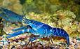 Freshwater Aquarium Blue Lobster