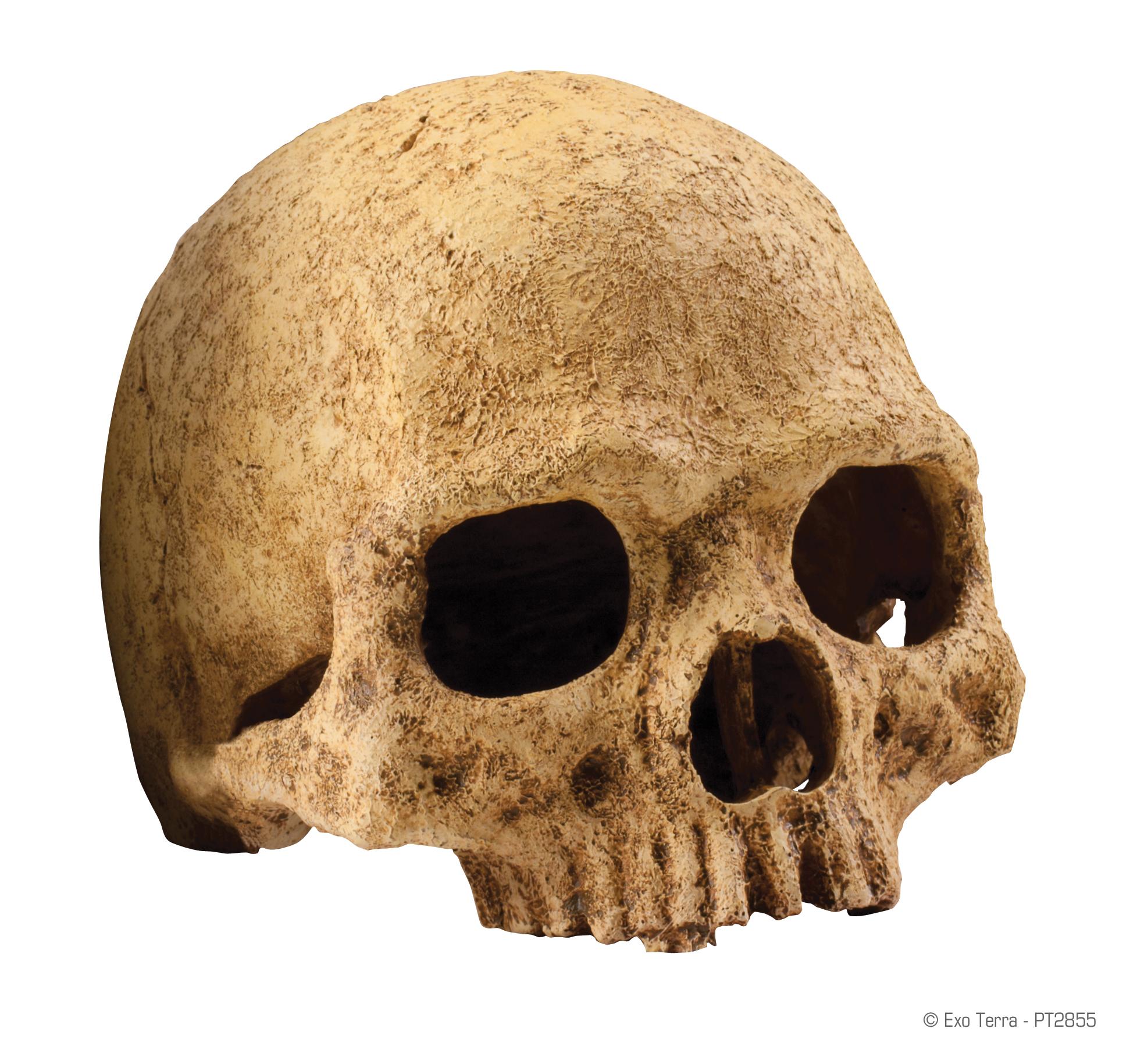 2855 Primate Skull 20x11x10cm