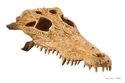 2856 Crocodile Skull 23x11x8cm