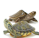 terrapin tile_edited.jpg