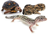 REPTILE STOCK AVAILABILITY SWANSEA NEATH