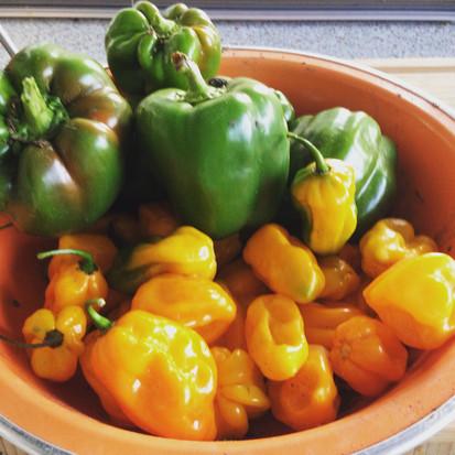 Mooie gele paprika's.....o help het zijn pepers!