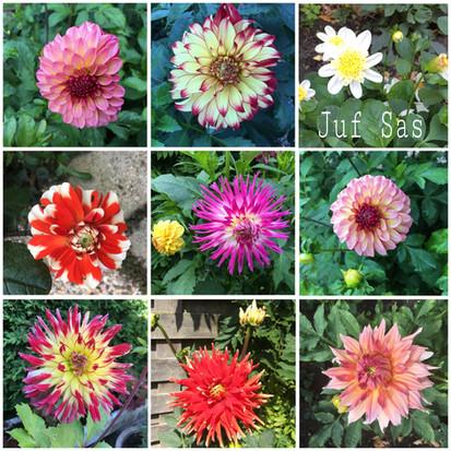 Dahlia's, elke week boeket bloemen uit eigen tuin