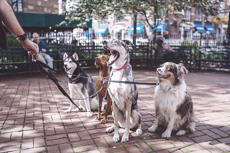 Dogs with Dog Walker_edited.jpg