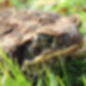 Cane Toad 1_edited.jpg
