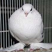 Fancy Pigeon 4_edited.jpg