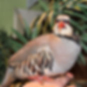 Chukar Patridge 6 _edited.jpg