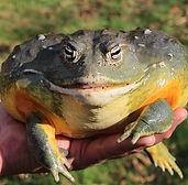 African Bull Frog 6_edited.jpg