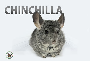 Chinchillaposter.jpg