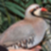 Chukar Patridge 2 _edited.jpg