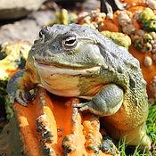 African Bull Frog 21_edited.jpg