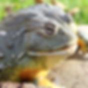 African Bull Frog 10_edited.jpg