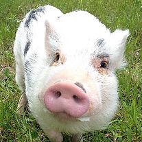 Pig 2  _edited.jpg