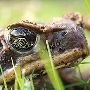 Cane Toad 4_edited.jpg