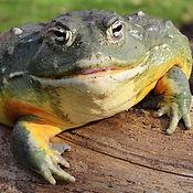 African Bull Frog 12_edited.jpg