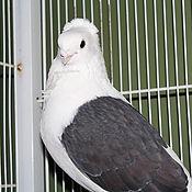 Fancy Pigeon 1_edited.jpg