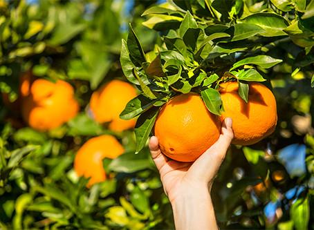 Oranges in Spain