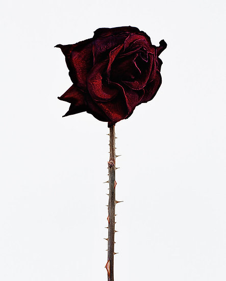 Rose + Thorns, Archival Ink Jet Print
