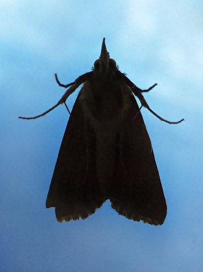 Moth on Blue, Archival Ink Jet Print