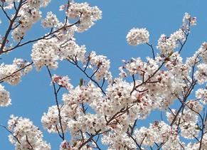 桜 園舎の設計