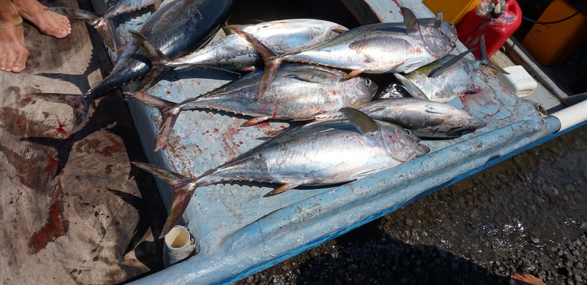 Gelbflossen Thunfisch