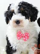 Sheepadoodle Puppy Phantom