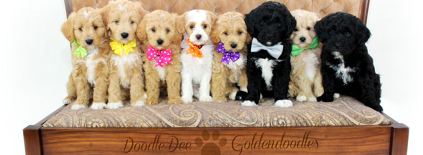 Goldendoodles for sale, english teddy bear goldendoodles for sale, english teddy bear goldendoodles, goldendoodle puppies for sale, goldendoodles for sale, goldendoodles, mini, micro mini, standard, puppies for sale