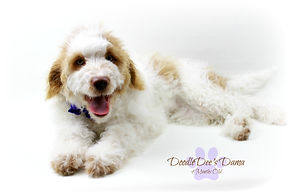 Goldendoodle Puppy Red Parti