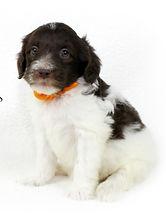Goldendoodle Puppy Chocolate Parti