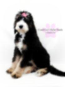 bernedoodle puppy phantom tri color