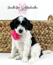 Goldendoodle Puppy Black Parti