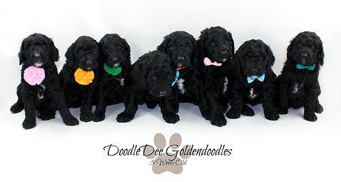 black goldendoodles, black doodle