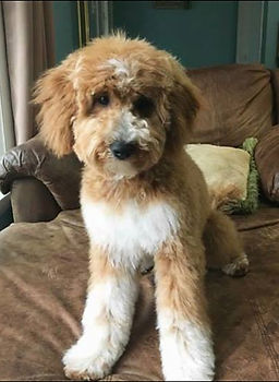Goldendoodle Puppy Red Tux