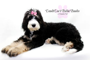 Phantom Bernedoodle Puppy