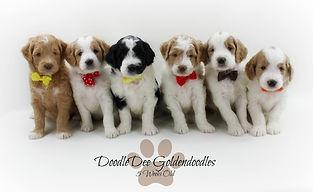 Goldendoodle Puppy Parti