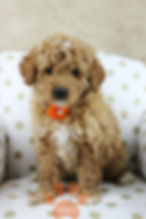 Goldendoodle Puppy Red