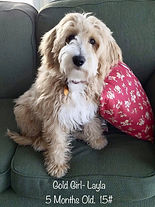 Apricot Goldendoodle Puppy
