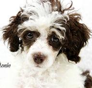 Chocolate Phantom Parti Poodle