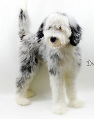 Merle Sheepadoodle Puppy