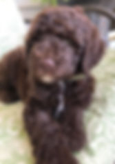 Goldendoodle Puppy Chocolate